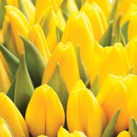 Obrúsky TaT 33x33 cm Yellow Tulips